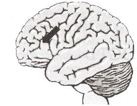 Префронтальная кора, дорсально-латеральная префронтальная кора, вид снаружи.