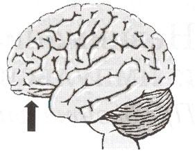Префронтальная кора, инфериорно-орбитальная префронтальная кора, вид снаружи.